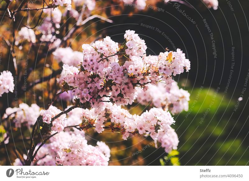 Ornamental cherry in the spring garden Pillar Cherry flowering cherry prunus Japanese flower cherry full bloom blossoming Cherry blossom Spring Flowering heyday