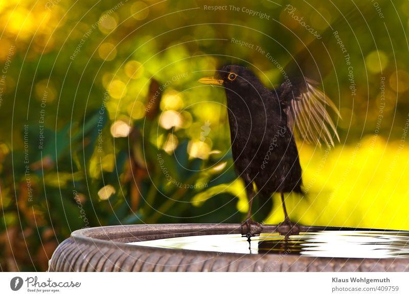 lightning start Environment Nature Animal Summer Beautiful weather Bird Animal face Wing 1 Water Swimming & Bathing Flying Yellow Green Orange Black Blackbird