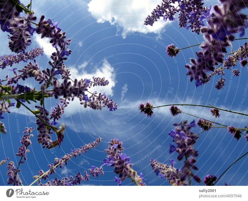 LavenderFragrance fragrances lavender flowers Sky Summer Beautiful weather little cloud Worm's-eye view purple Violet Blossom Plant Garden Medicinal plant