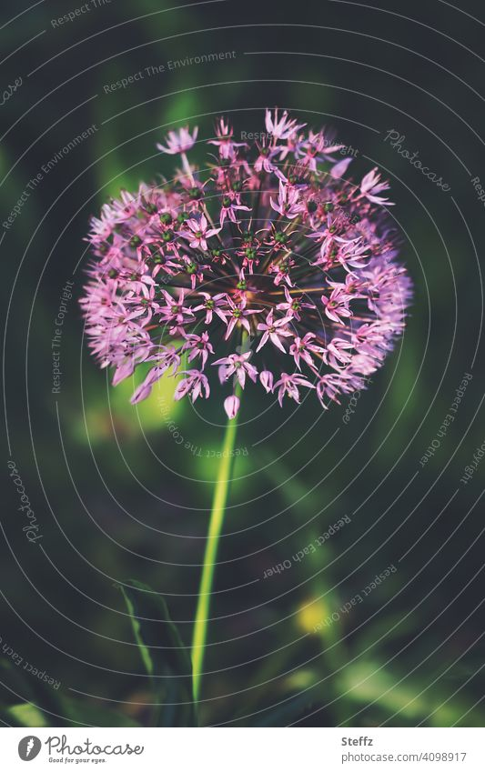 flowering chives in the peace of the garden Chives chive blossom allium heyday May Allium schoenoprasum Spring Flowering tranquillity spring awakening