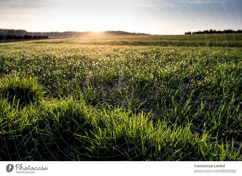 Glittering grass in the morning light Green Grass Sunrise Dawn morning mood Dew Nature Morning Meadow Sunlight Light Landscape Deserted Colour photo Environment