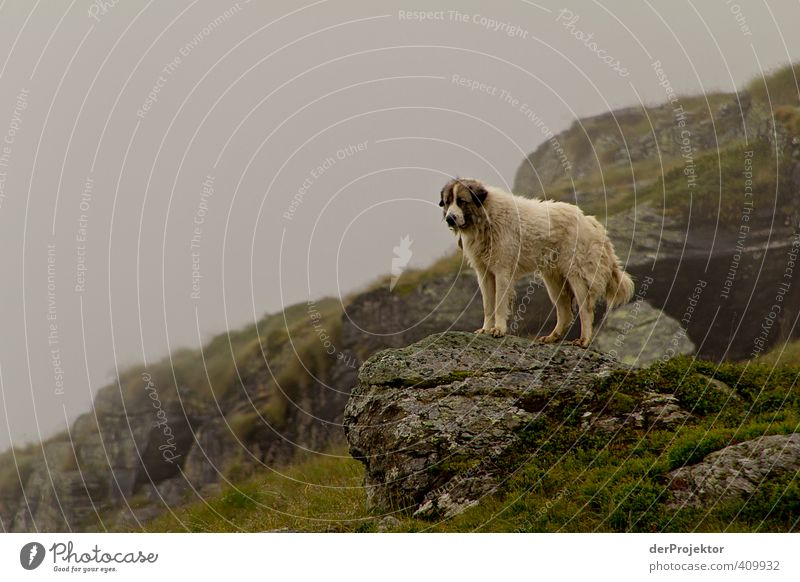 Dog Nature Plant Summer Landscape Animal Environment Mountain Fear Dangerous Threat Clean Alps Curiosity Stress Sheep