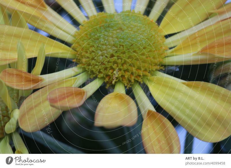 Chrysanthemum indicum, Swifty yellow & orange Flower Blossom Yellow Orange Spring Season