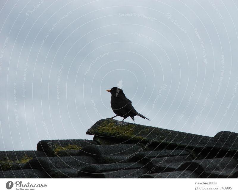 Throstle Blackbird