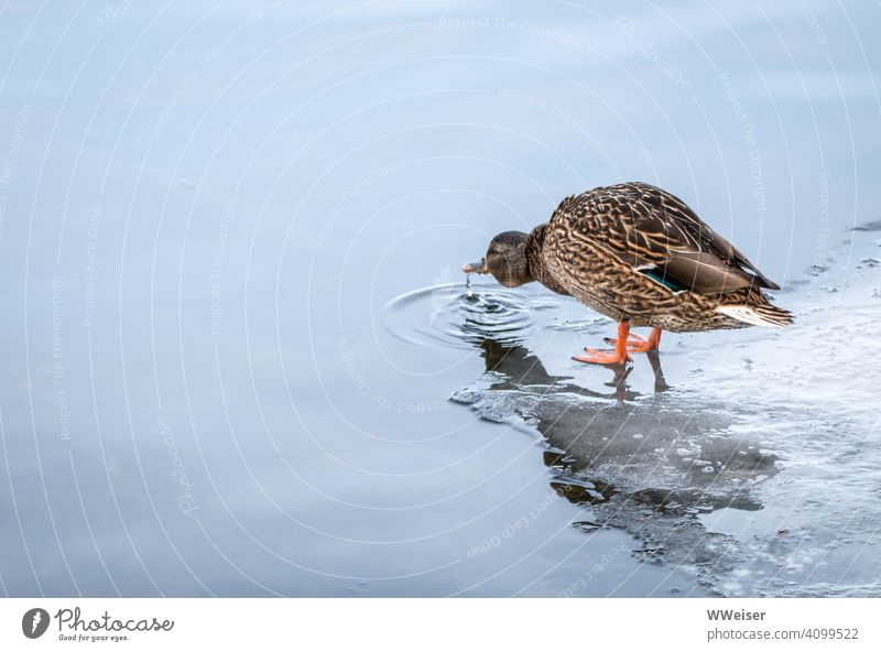 The duck stands on the ice and drinks the cold water Duck Water Lake Winter Bird Ice Plaice Cold Drinking Drop Beak River Stretching Minimalistic intricately