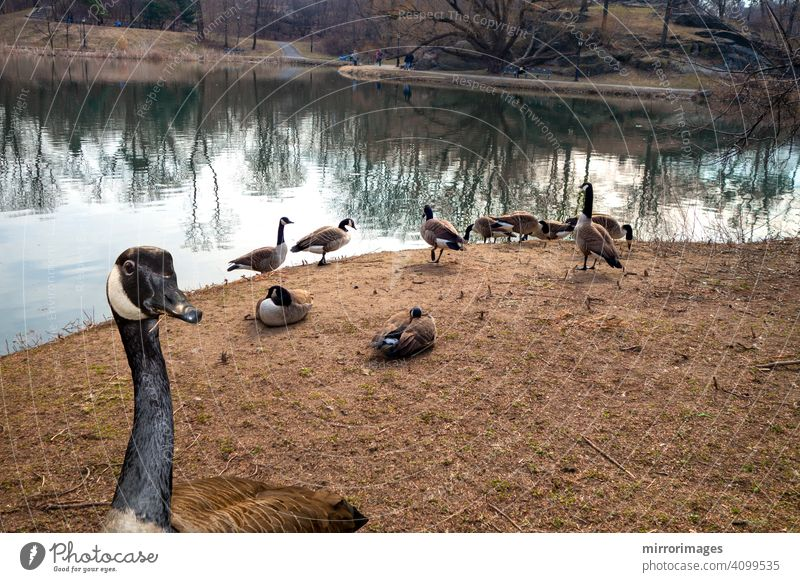 Canadian goose an open area near a lake Central Park New York one close up eating dry grass wild Canada gooses branta canadensis animal waterfowl gooses autumn