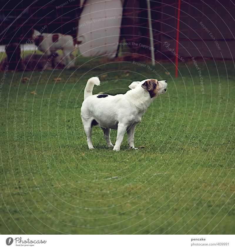 Black-and-white gray with a lot of radau! Grass Meadow Pet Dog 1 Animal Threat Brash Funny Sustainability Gray White Communicate Crash Wauwau Colour photo