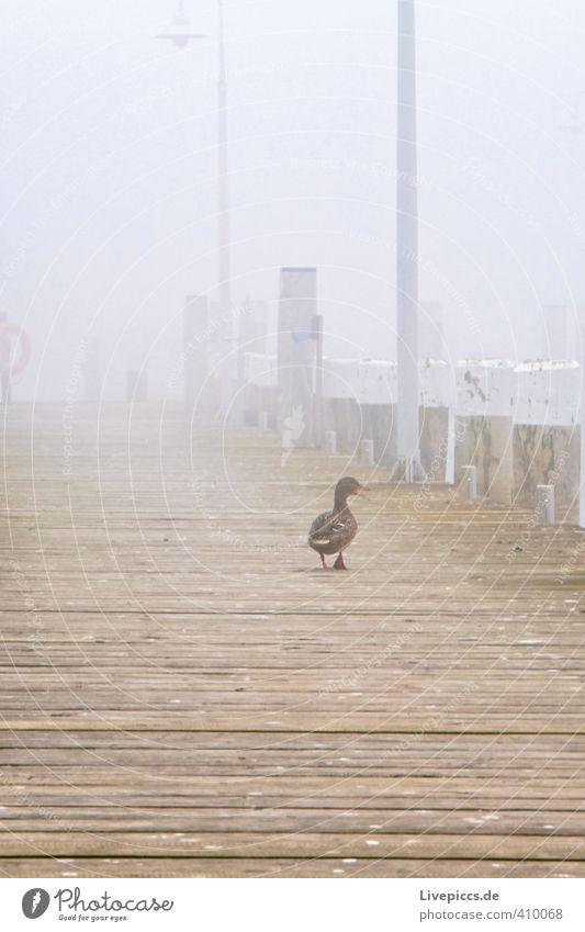 Calm Animal Yellow Gray Wood Lamp Dream Earth Brown Bird Fog Wild animal To enjoy Serene Footbridge Duck