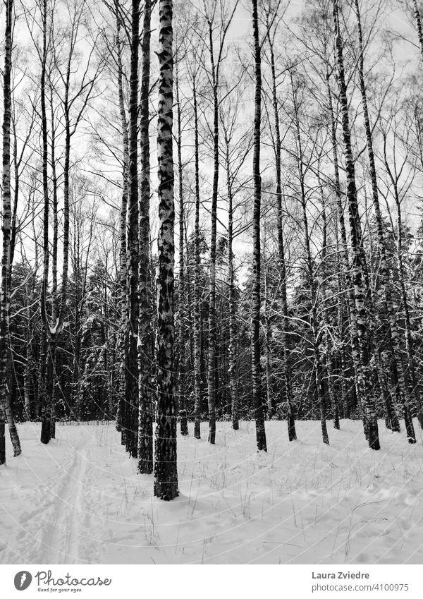 Birches in the winter birches Birch tree Birch wood Winter Snow Winter mood Winter forest birch branch Forest winter cold Winter vacation Winter light
