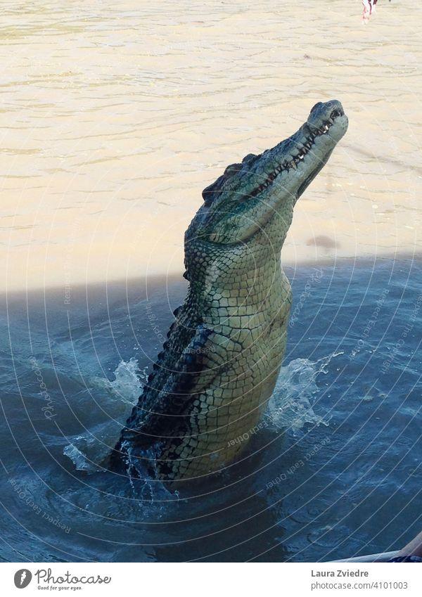 Jumping Crocodile, Australia Jumping crocodile Crocodiles crocodile skin Crocodile in the water Adelaide river topend Reptiles Wild animal Threat Animal