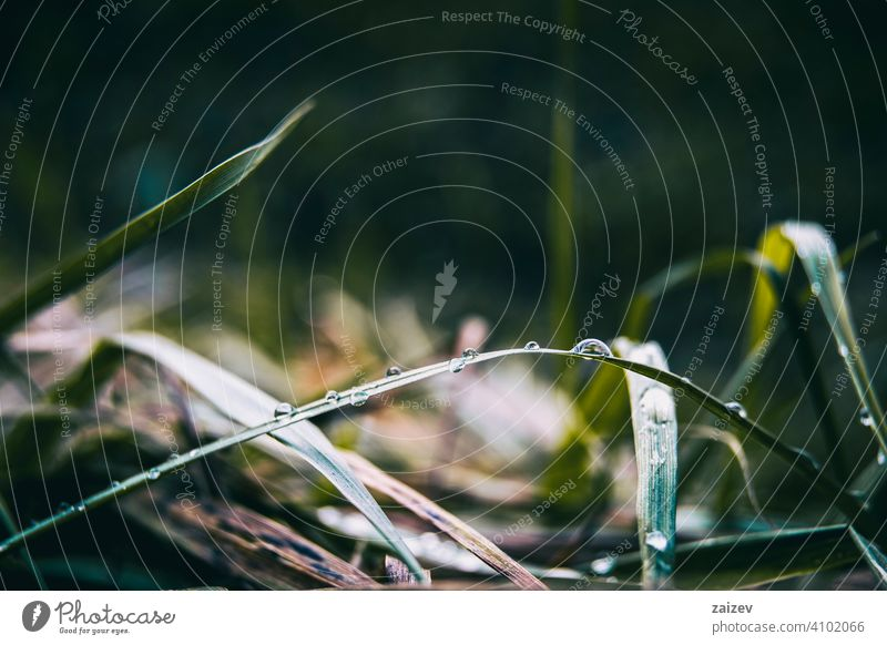 elongated grass blades with lots of dewdrops purity horizontal harmony peace simplicity copy-space splashing tranquility droplet shiny environmental life
