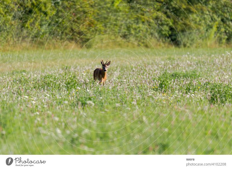 Young roe deer in a meadow animal animal themes buck copy space cuddly cuddly soft forest fur hunter hunting landscape male mammal nature nobody red deer