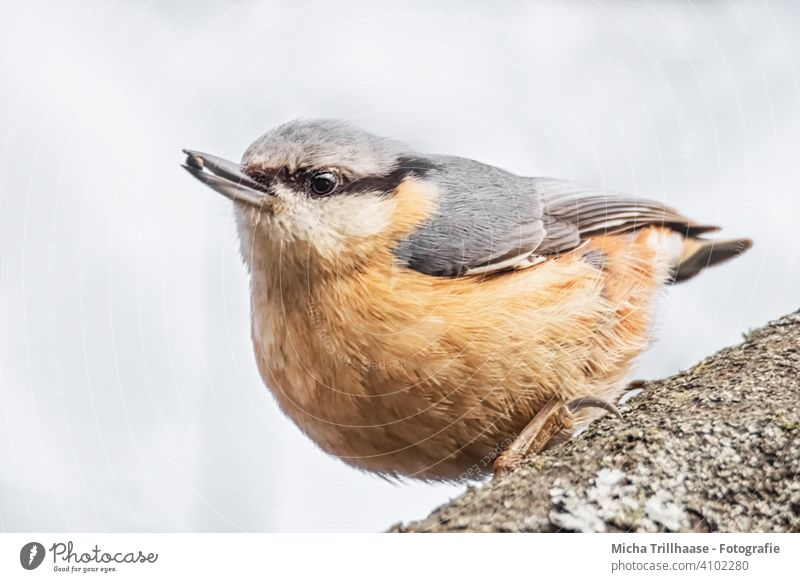Nuthatch with a grain in its beak Eurasian nuthatch Sitta Europaea Bird Animal face Head Beak Eyes Grand piano Feather Plumed Claw Looking Observe Wild animal