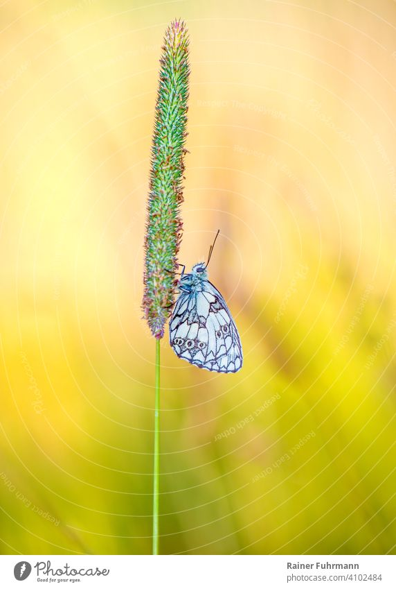 A butterfly ( Melanargia galathea ) sits on a blade of grass ( Phleum pratense ) on a sunny meadow Butterfly butterflies Chessboard Meadow bluegrass