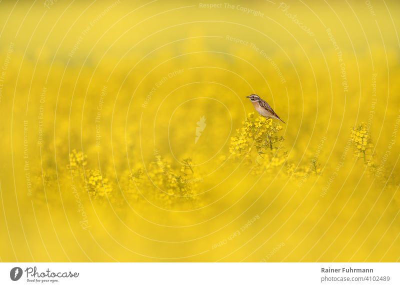 A small bird, a whinchat sits in a flowering rape field Canola Canola field Whinchat Saxicola rubetra Field Yellow Nature Spring Environment songbird Blossoming
