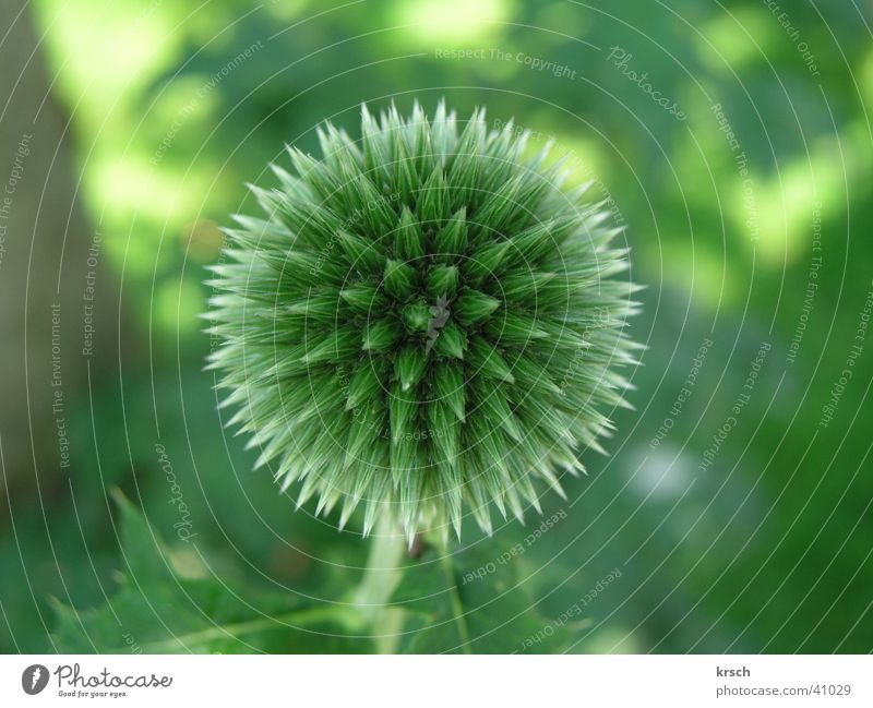 Nature Flower Green Plant Garden Round Point Sphere Symmetry Thorn Thorny Thistle