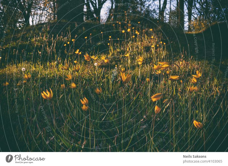 beautiful wild yellow tulips on the cemetery hill in golden sunset botany bright card celebration color colorful country creativity dawn decoration design flora