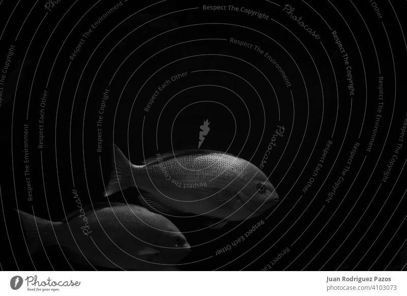 Black and white minimalist image of two fishes in the dark art black sea wallpaper submarine nautic fishing swim depth aquarium boat water animal pair scale