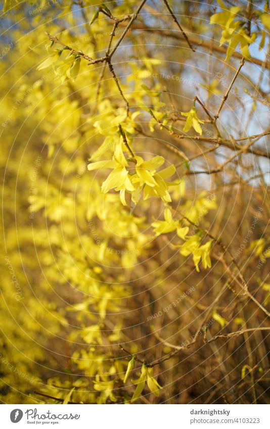 Forsythia in full bloom with a strong blur and a retro look Retro Colour photo Lifestyle Exterior shot Exotic Hip & trendy yellow blossoms thriving shrub