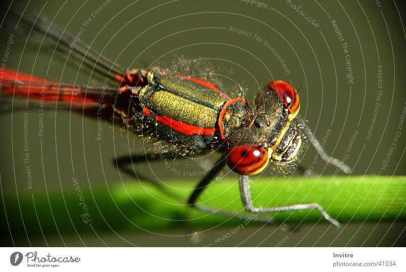 Eyes Insect Dragonfly Large red damselfly