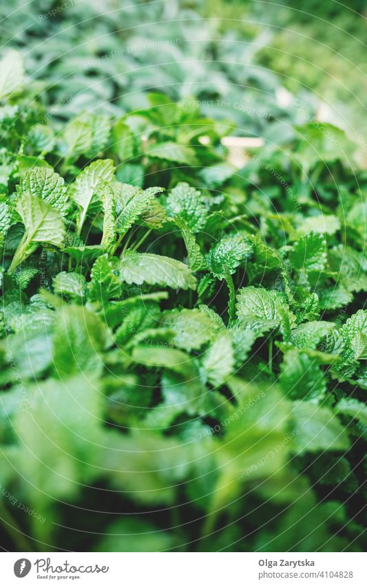 Herbs of mint in market. summer green plant background nature leaf spring agriculture fresh grow natural organic healthy ingredient herbal condiment delicacy