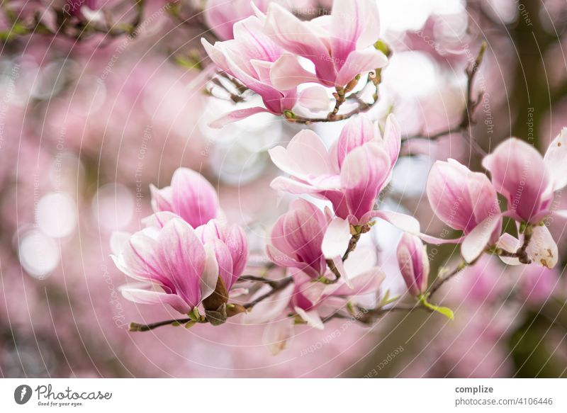 Magnolia branch with flowers in spring Growth Plant Background picture Wellness Tree pretty Nature naturally Fragrance Spa Flower Blossoming Spring