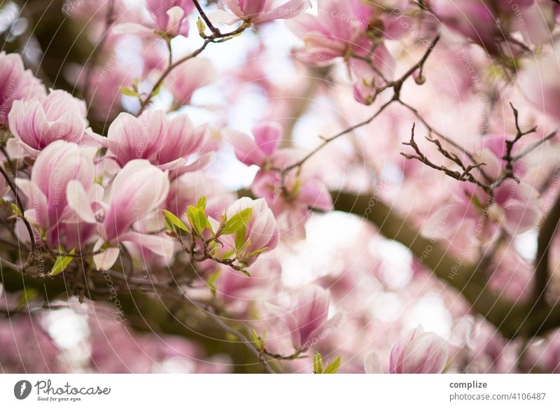 Magnolia tree in spring Growth Plant Background picture Wellness Tree pretty Nature naturally Fragrance Spa Flower Blossoming Spring Magnolia plants blossom
