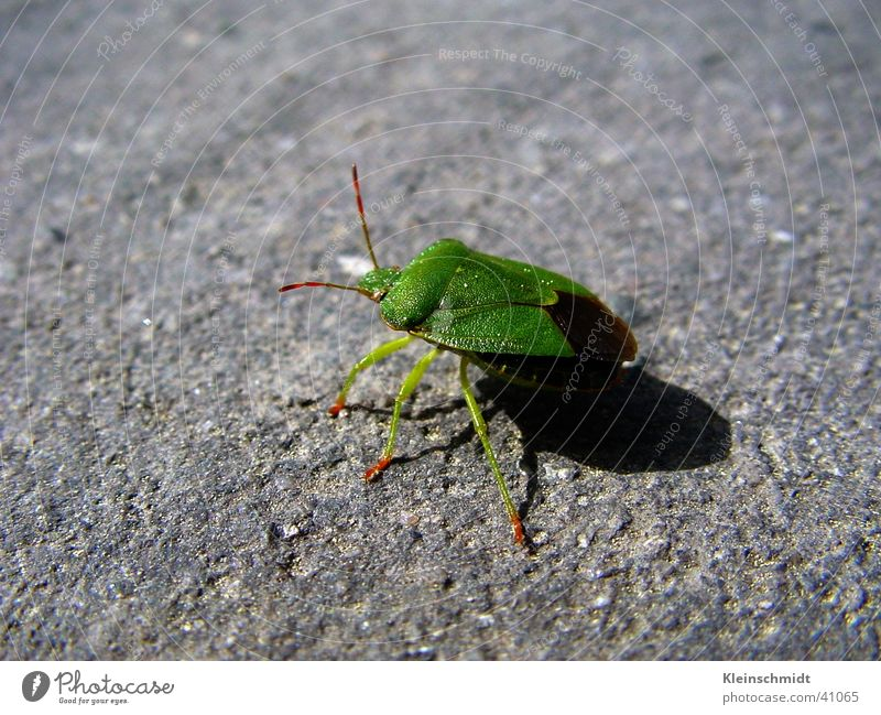 Animal Beetle