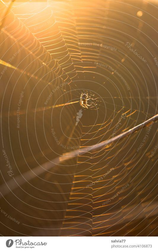 Spider's web against the light Net Orb weaver spider Cross spider Nature Animal Close-up Shallow depth of field Back-light Deserted Brown Delicate artistic
