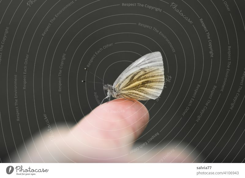 Butterfly sits on finger Fingers black background Macro (Extreme close-up) Whiting Neutral Background Isolated Image Contrast Central perspective Copy Space top