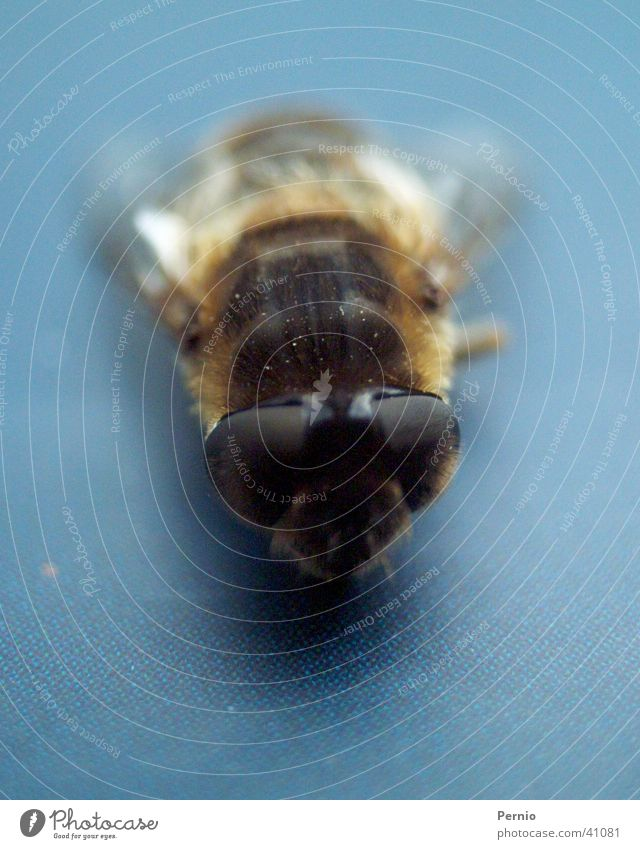 bow tie Insect Fly