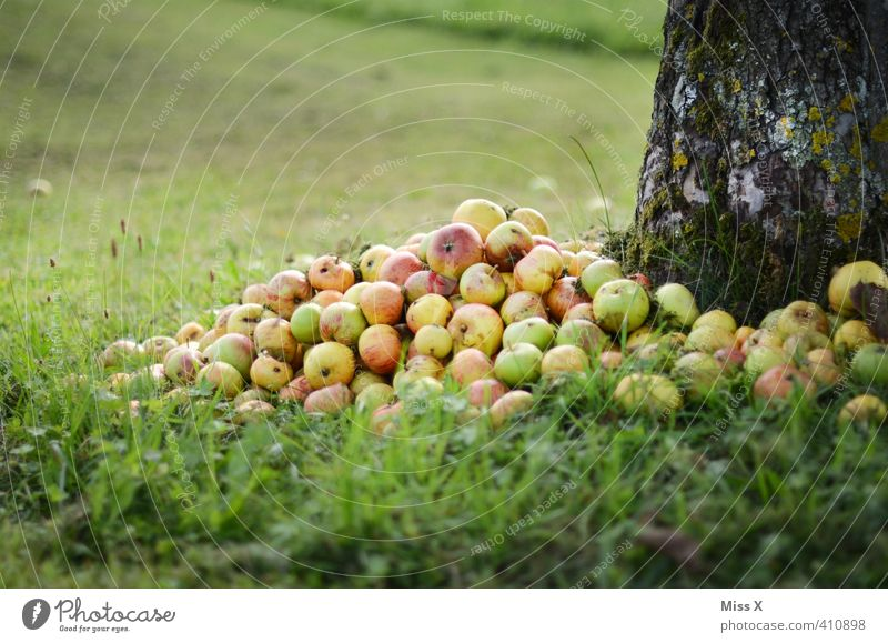 Tree Meadow Autumn Garden Food Fruit Nutrition Sweet Putrefy Apple Harvest Organic produce Mature Heap Apple tree Putrid