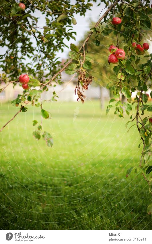 Summer Tree Autumn Healthy Garden Food Fruit Beautiful weather Fresh Nutrition Sweet Branch Apple Harvest Delicious Twig