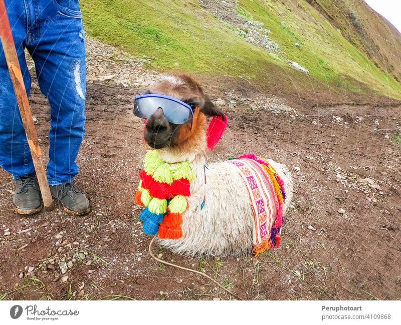 View of a funny alpaca with sunglasses around Rainbow Mountain, Vinicunca, Cusco america animal cusco landscape llama mammal nature peru travel vinicunca wild
