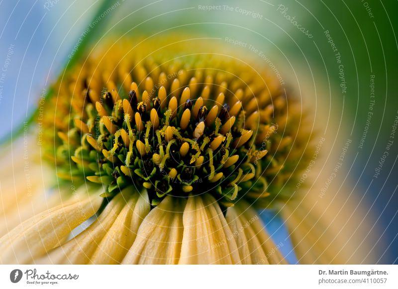 Echinacea purpurea, yellow variety, inflorescence coneflower purple echinacea Yellow Rudbeckia selection Breeding asteraceae Compositae Plant Flower