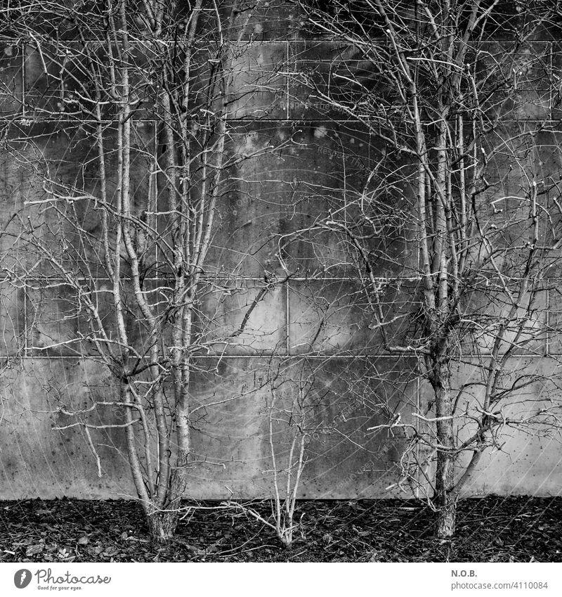 Bushes on a wall in black and white shrub Black & white photo black-and-white Monochrome Exterior shot White Gray Branchage Bleak Deserted Day