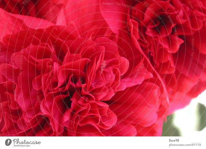 Flower Red Leaf Pink Rose Plant Rose leaves