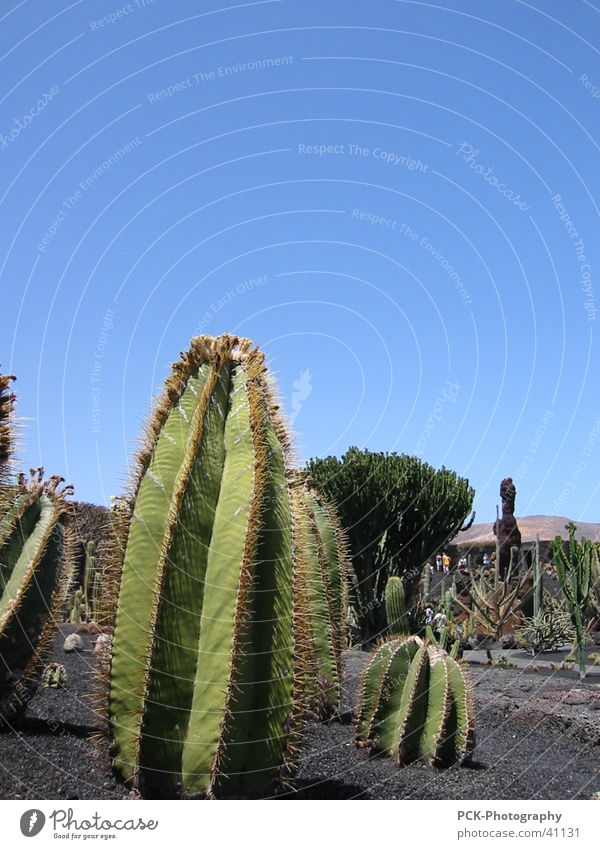 Vacation & Travel Cactus Thorny Canaries Lanzarote