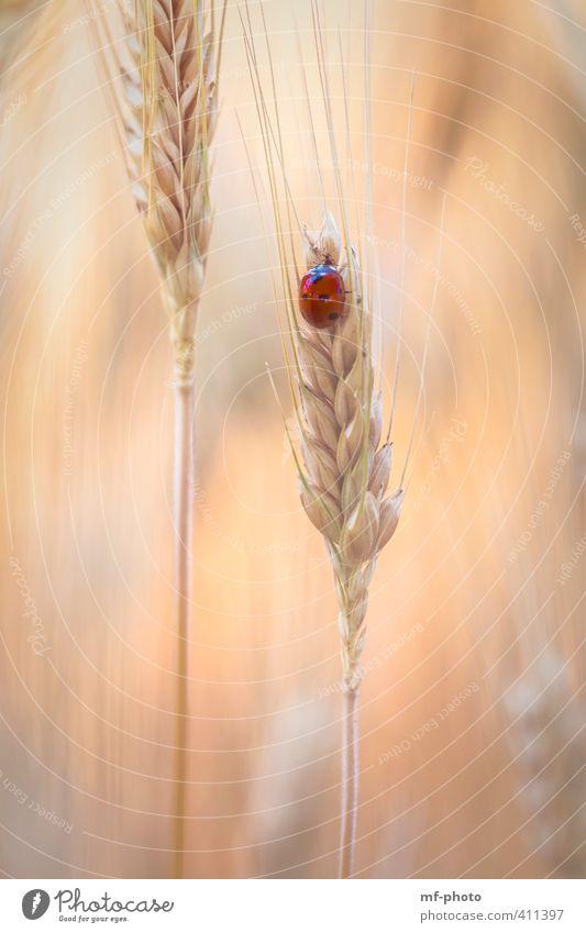 Nature Plant Summer Red Animal Orange Field Beetle Ladybird