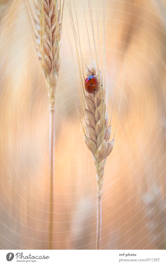 Red dot in cornfield Nature Plant Animal Summer Field Beetle Ladybird ladybug 1 Orange Colour photo Exterior shot Deserted Light Animal portrait