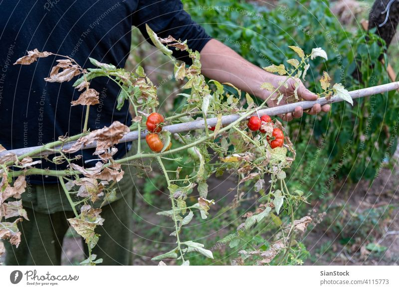 Man is holding drying tomato plant, the end of the growing season. october autumn tomatoes disease september urban brown growth garden closeup field leaf green