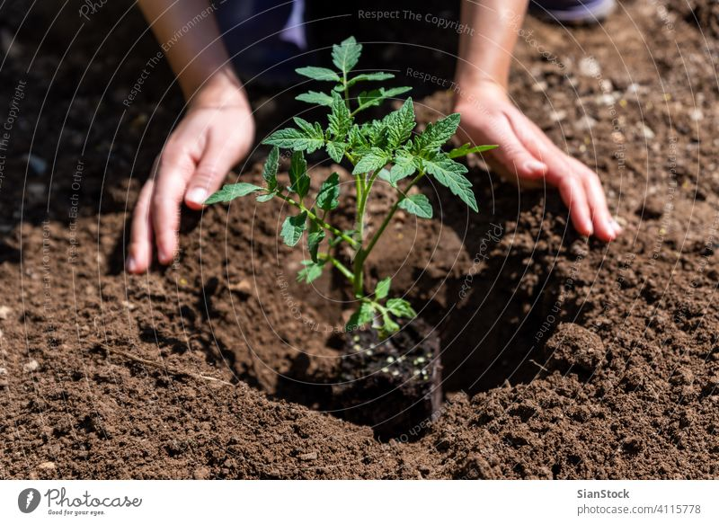 Woman planting young tomatoes plant at the garden. growth earth dirt nature sprout green hand farming spring hands agriculture soil gardening closeup seedling