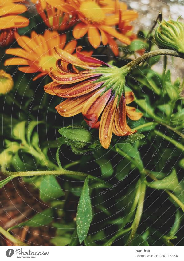 Orange dimorphoteca ecklonis, african daisy spring floral flowers beautiful plant amazing bloom in bloom blossoming macro close close up nature natural fresh