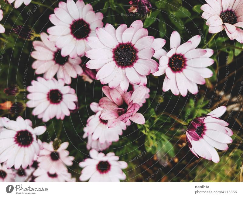 floral patter of dimorphoteca ecklonis, african daisy spring flowers beautiful plant amazing bloom in bloom blossoming macro close close up nature natural fresh