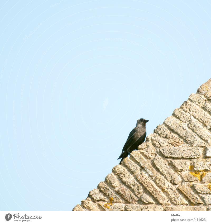 weird bird Environment Nature Animal Sky Wall (barrier) Wall (building) Facade Roof Wild animal Bird Jackdaw 1 Stone Crouch Looking Sit Natural Blue Contentment