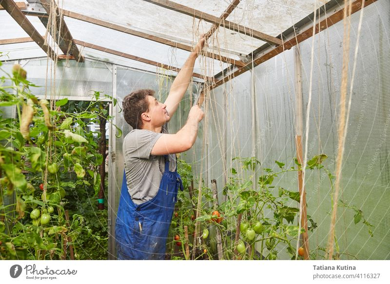 Worker ties up tomatoes in a greenhouse agriculture gardening hand nature care gardener worker casual caucasian concentrated cultivation fix handmade hat hobby