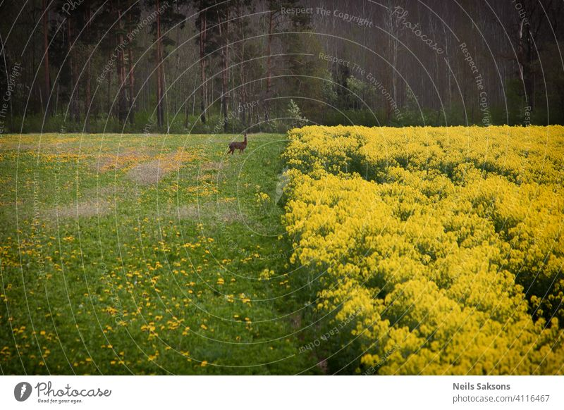canola field background with deer animal Wild animal Animal Roe deer Deer Exterior shot Abstract agriculture beautiful biofuel blooming blossom blue cloud crop