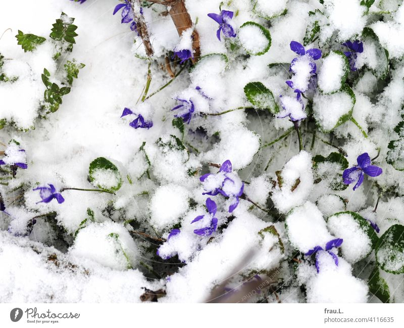Violets in the snow Balcony Terrace Blossom blossom Spring April leaves