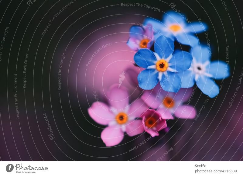 Forget-me-not in blue and pink Myosotis heyday May romantic Domestic Graceful Romance forget-me-not flower don't forget me be forgotten keep in mind