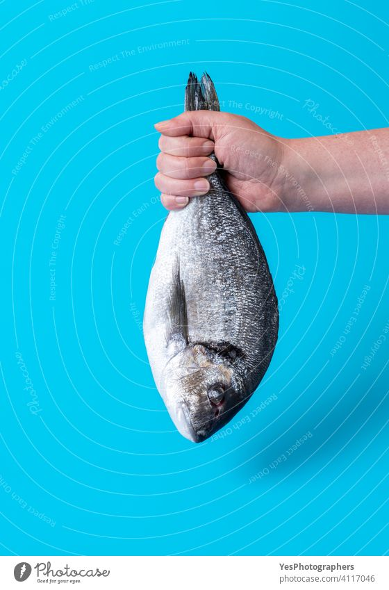 Dorado fish isolated on a blue background. Woman hand holding raw fish animal arm catch close-up color copy space cuisine cut out dead diet dieting dorado food